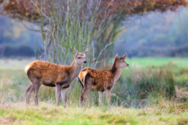 Whitetail fawns in a thick forest