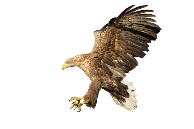 Whitetailed eagle catching prey with talons isolated on white background