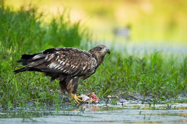 Whitetailed eagle feeding riverbank in summer nature