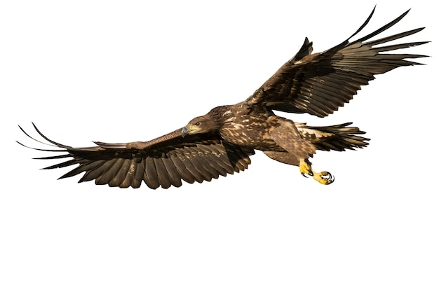 Whitetailed eagle flying with open wings isolated on white background