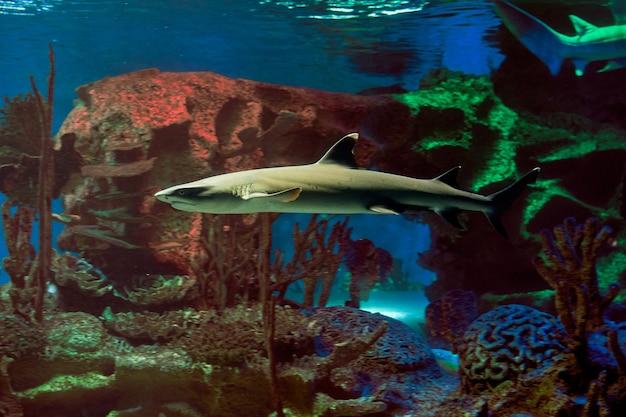 Whitetip 암초 상어 또는 흰색 팁 암초 상어는 때때로 기수 또는 담수의 따뜻한 바다의 철새, 살아있는 물고기입니다.