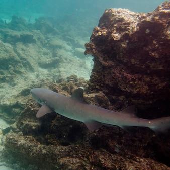水中で水泳するwhitetip reef shark(triaenodon obesus)、プエルト・エガス、サンティアゴ島、ガラパゴス諸島、エクアドル