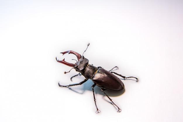 Мужской жук-олень, изолированные на whitewall жук-носорог. боевой жук.
