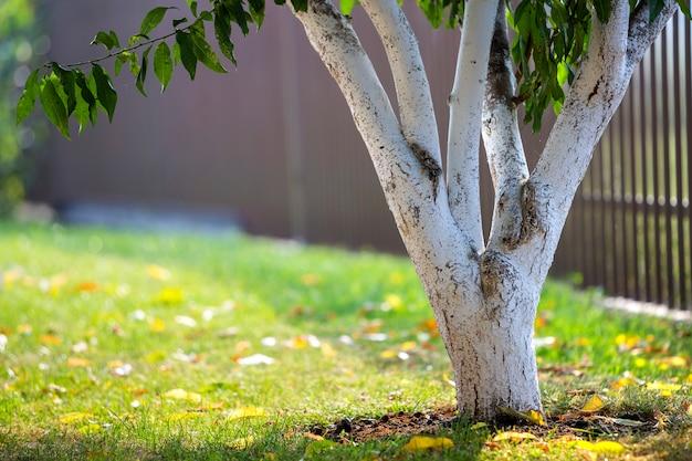 Побеленная кора деревьев, растущих в солнечном саду