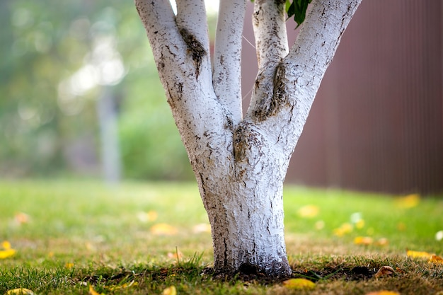 Whitewashed bark of tree growing in sunny orchard garden on blurred green