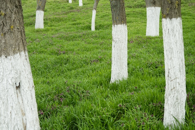 Whitewashed trees among the green grass