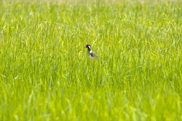 A whitre breasted water hen in the isaan rice fields of thailand