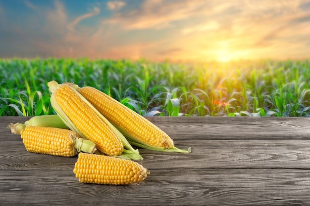 Whole and broken ears of corn on a wooden table against the background of a cornfield