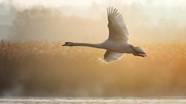 Лебедь-кликун летит над водой в окружении зелени под солнечным светом