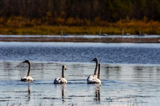 フィンランド、ラップランドの湖のオオハクチョウグループ