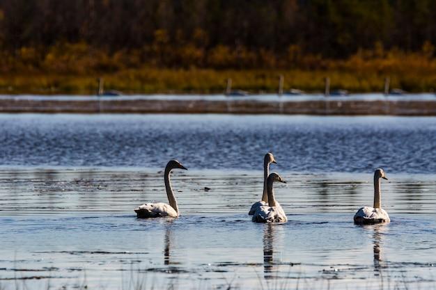 Группа лебедей-кликунов в озере в лапландии, финляндия