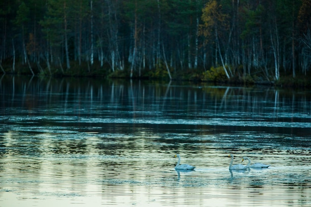 Whooper swan group in a lake in lapland, finland