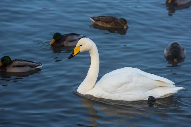 Лебеди-кликуны плавают в озере