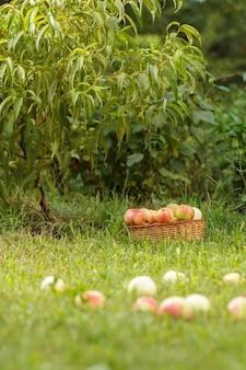 Плетеная корзина и спелые яблоки на зеленой траве в саду. упавшие яблоки в летнем саду. сбор фруктов. малая глубина резкости, сосредоточьтесь на корзине.