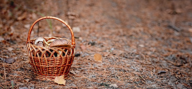 Wicker basket full of edible mushrooms standing on ground in autumn forest. space for text