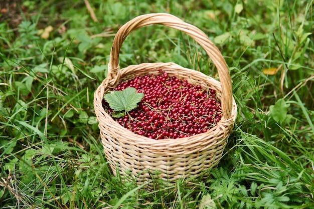 赤スグリの果実がいっぱい入った籐のかごが草の中に立っています