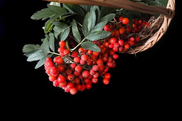 검은 배경에 붉은 산 애쉬 열매 가을 열매가 잔뜩 있는 고리버들 바구니
