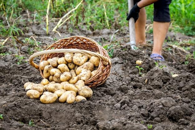 庭のジャガイモと籐のバスケット