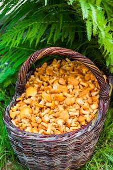 Плетеная корзина с лесными грибами лисичками и листьями папоротника на фоне