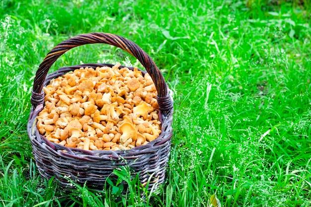 緑の草の上の野生のキノコのアンズタケと籐のバスケット