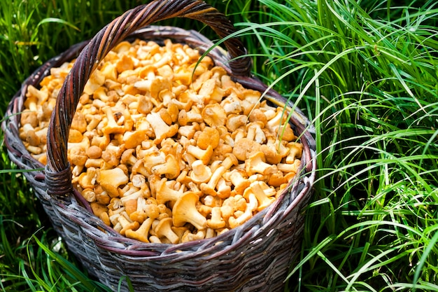 Плетеная корзина с грибами лисичками на зеленой траве