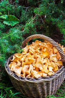 Плетеная корзина с лесными грибами лисичками