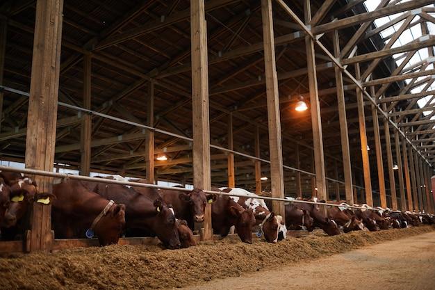 有機酪農場、コピースペースで牛舎で干し草を食べる列の美しい健康な牛の広角の肖像画