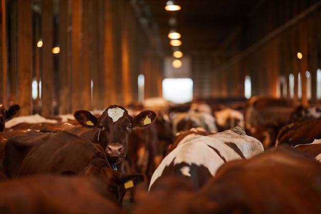 農場、コピースペースの小屋に立ってカメラを見ている美しい若い牛の広角の肖像画