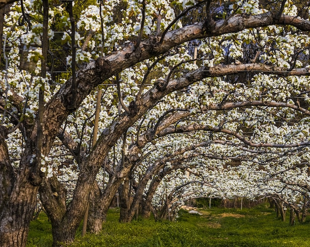 Wide angle shot of the asian pear orchard in full blossom