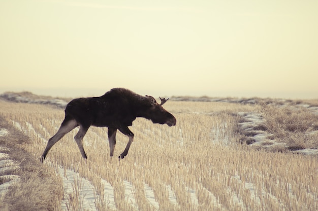 Wide angle shot of a moose walking on a dry field of grass