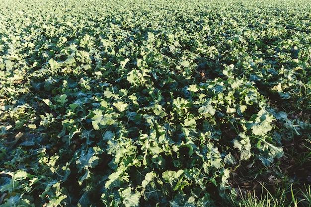 昼間に成長する作物のフィールドの広角ショット