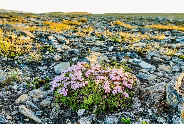 スウェーデンの岩場で育つピンクの花のグループの広角ショット