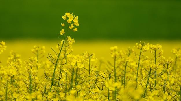 필드에 다양한 노란색 꽃의 와이드 앵글 샷