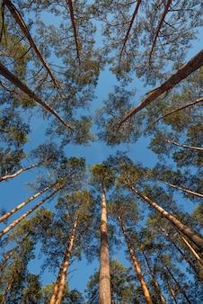 Широкоугольный снимок сосен, возвышающихся в голубом небе.