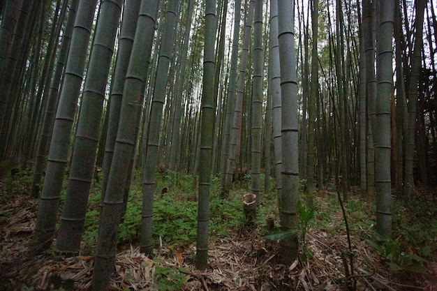 Wide angle shot of several bamboo trees in the forest