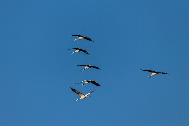 Wide angle shot of several birds flying under a blue sky