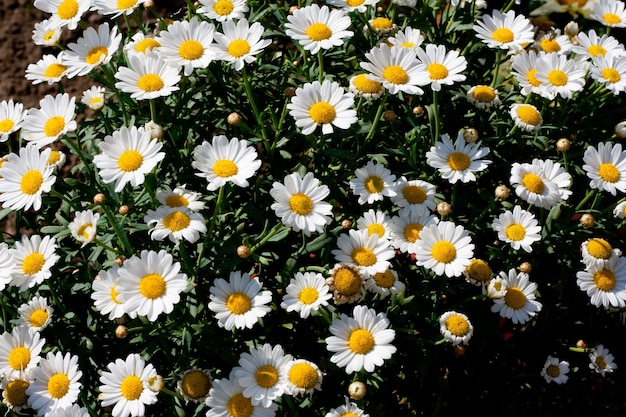 Wide angle shot of several white flowers next to each other