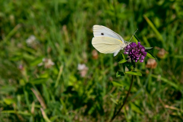 Wide angle shot of a white butterfly sitting on a purple flower surrounded by grass