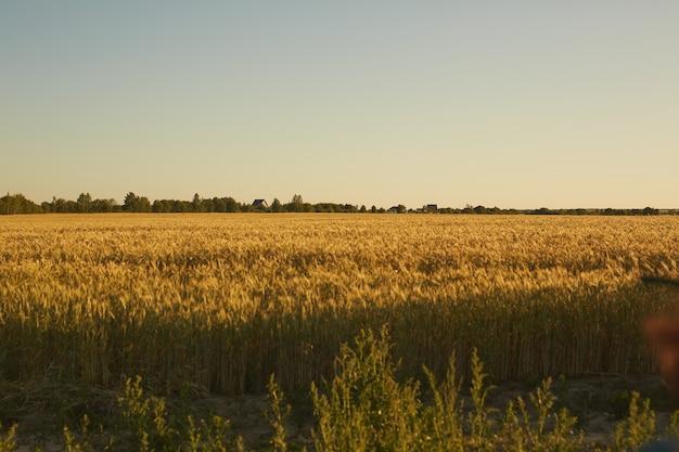 夕焼けの光に照らされた作物とライ麦、田園風景とプランテーションのコンセプト、コピースペースのある豊かな黄金のフィールドでの広角ビュー