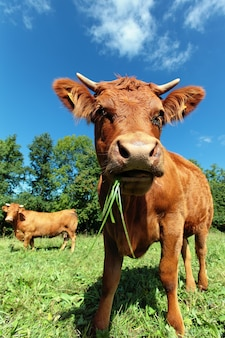 Wide angle view of a cow on a meadow.
