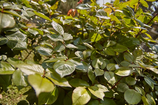 Wide angle view of a roses plant in the spring leaves