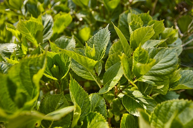 Wide-angle view of the spring-blooming leaves of hydrangea, a common ornamental plant