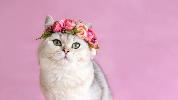 Широкий баннер красивая белая британская кошка в короне из цветов на розовой стене