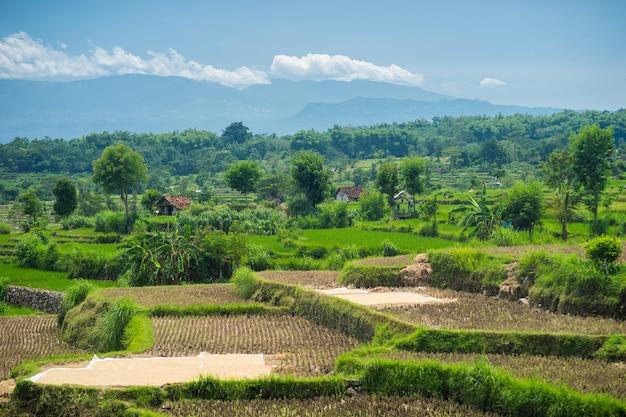 Широкие зеленые рисовые террасы на бали