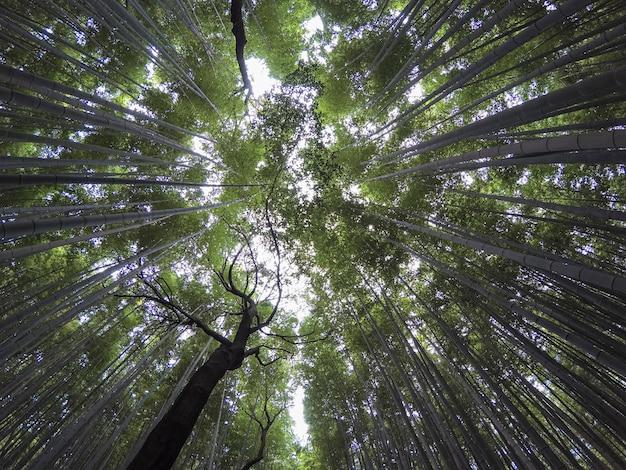 Wide nadir shot bamboo grove. bamboo forest at kyoto, japan