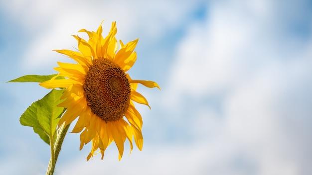 Широкое изображение одного подсолнуха с копией пространства. одинокий подсолнух в полном цвету с небом на заднем плане