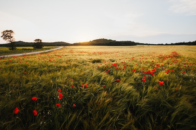 日没の風の強い日に広いポピー畑