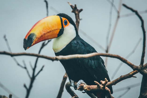 Wide selective focus shot of a toucan on a tree branch
