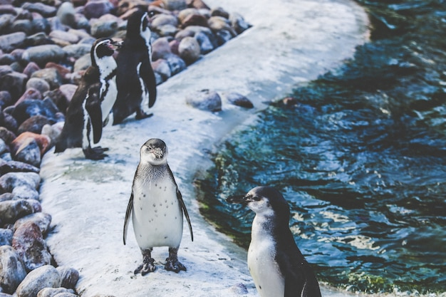 Wide selective focus shot of white and brown penguins near water