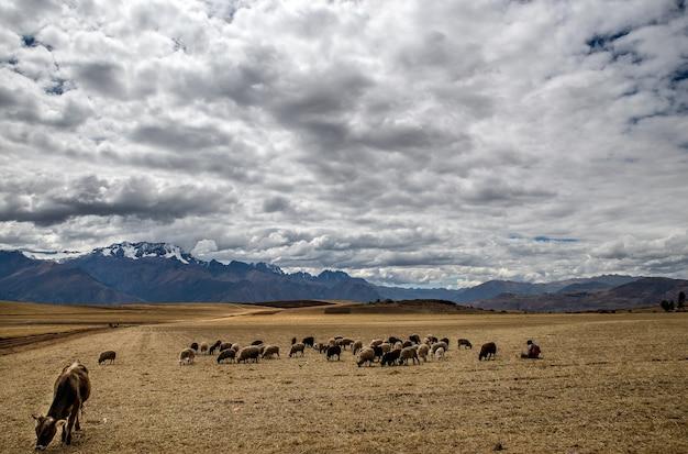 Grandangolo di animali che mangiano nel campo di erba secca in una giornata nuvolosa